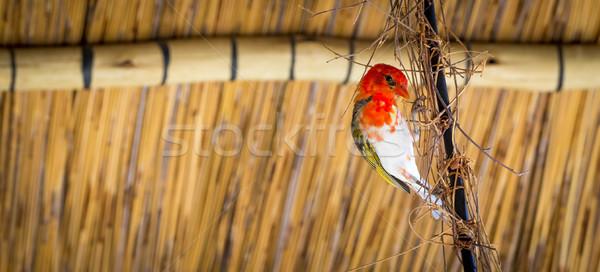 Red Headed Weaver Bird Stock photo © THP
