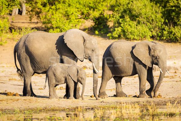 Elephant Herd At Rivers Edge Stock photo © THP