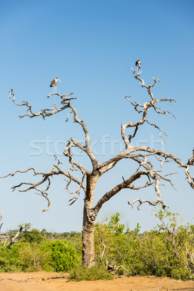 Marabou Stork Birds Stock photo © THP