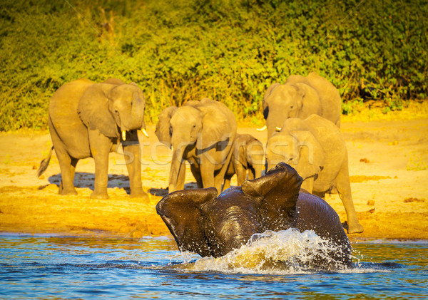 Young Elephants Playing In Water Stock photo © THP
