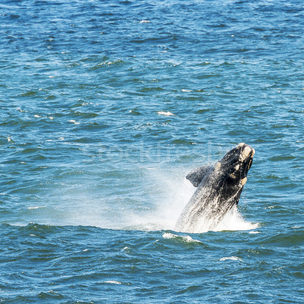 Southern Right Whale Breaching Stock photo © THP