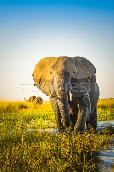 Elephant Stock photo © THP