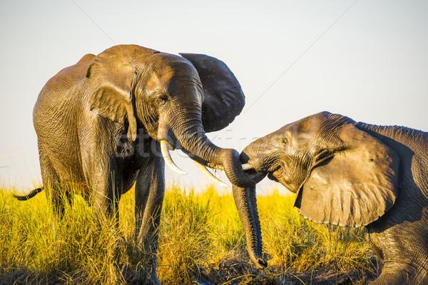 Elefantes jugando barro jóvenes edad Foto stock © THP