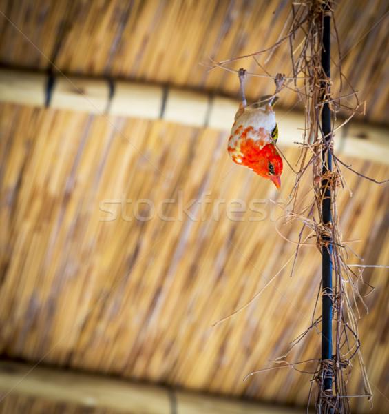 Rot Vogel Botswana Afrika Stock foto © THP