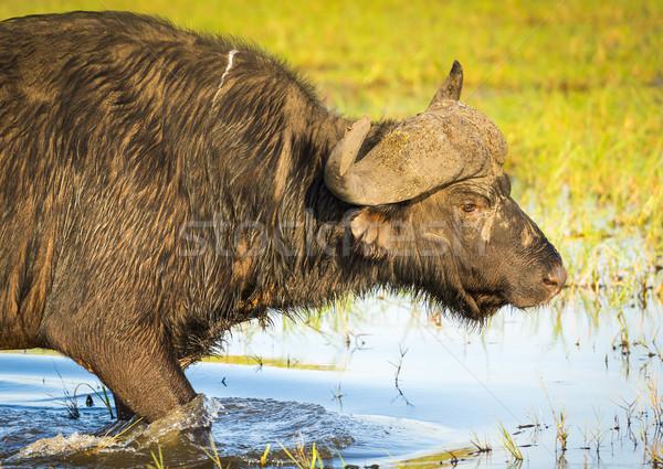 African Buffalo Stock photo © THP