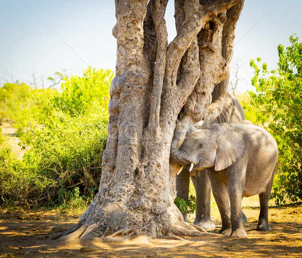 Young Elephant Calf Playing With Trunk Stock photo © THP
