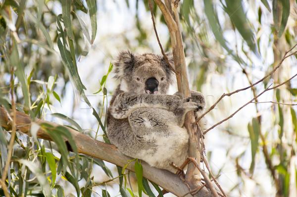 Koala ayı sakız ağaçlar Avustralya Stok fotoğraf © THP