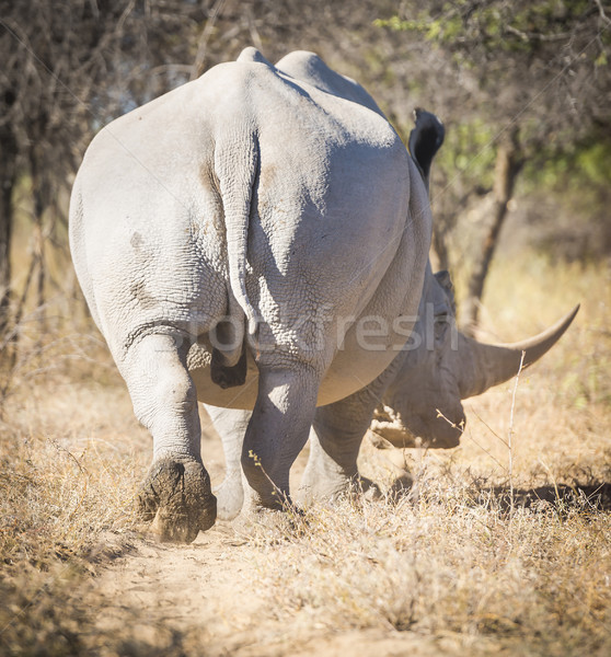 White Rhinoceros Africa Stock photo © THP