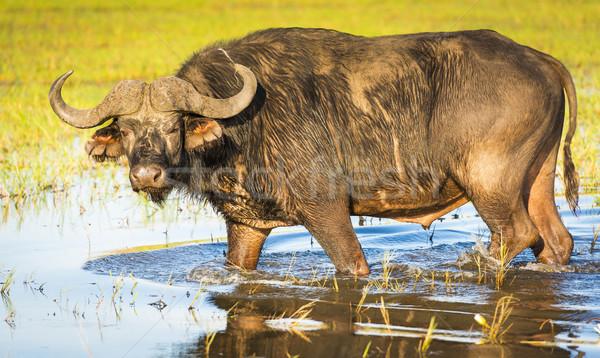 Stock photo: Buffalo