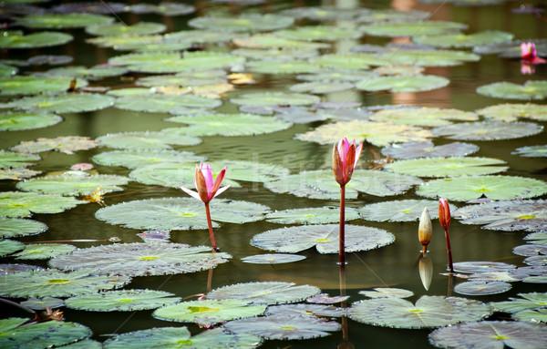 Лилия цветок воды природы красоту Сток-фото © THP
