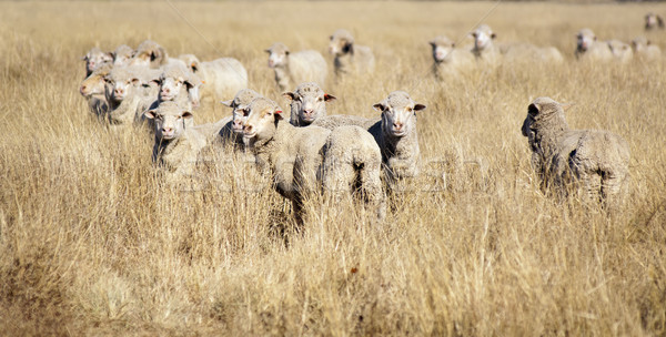 Smiling Sheep Stock photo © THP
