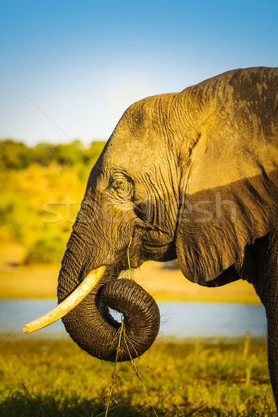 Elephant With Water Mark Stock photo © THP