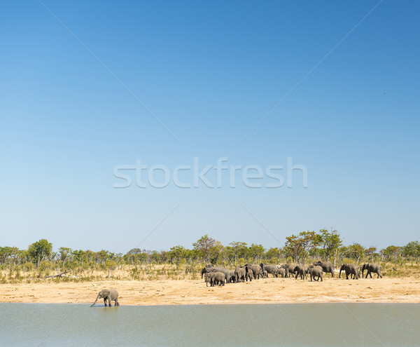 Elephant Herd Stock photo © THP