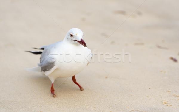 Seagulls On Beach Stock photo © THP