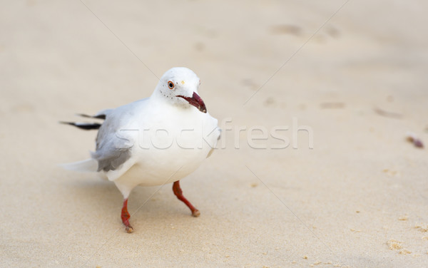 Stok fotoğraf: Martılar · plaj · portre · Avustralya · doğa · arka · plan