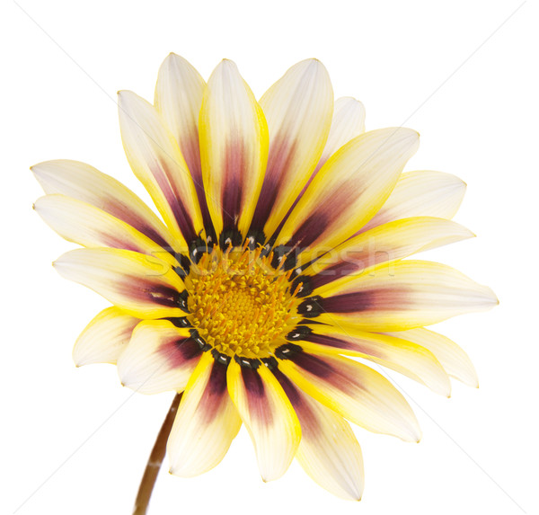 Flower Isolated Stock photo © THP