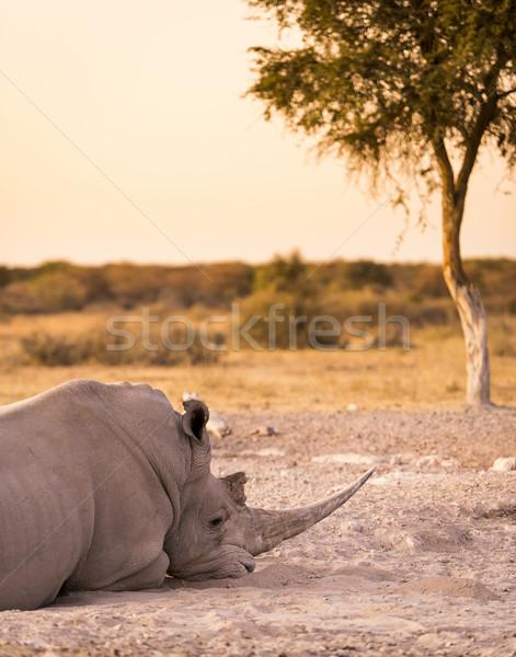 Branco rinoceronte rinoceronte safári Botswana Foto stock © THP