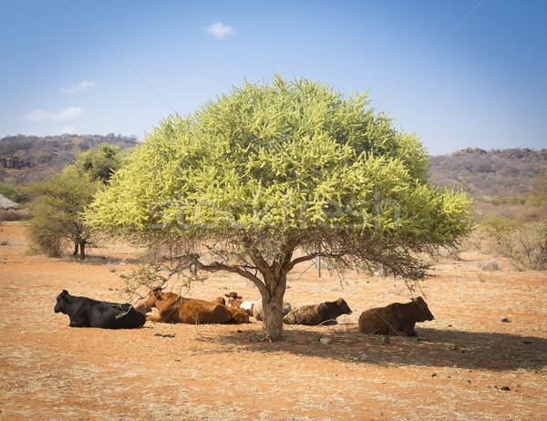 Botswana wołowiny bydła drzewo wiejski Zdjęcia stock © THP