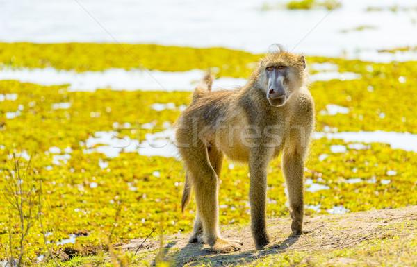 бабуин парка Африка природы портрет Safari Сток-фото © THP