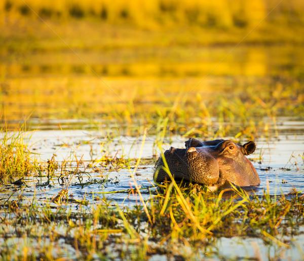 Hippopotamus Chobe River  Stock photo © THP
