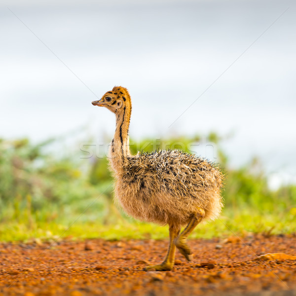 Baby Ostrich Stock photo © THP