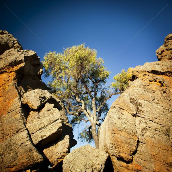 Outback Tree Stock photo © THP