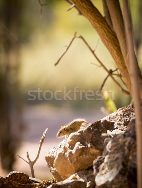 Pasiasty dziedzinie myszą cute posiedzenia rock Zdjęcia stock © THP
