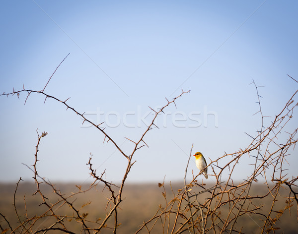 Kuş Botsvana Afrika kırmızı Stok fotoğraf © THP