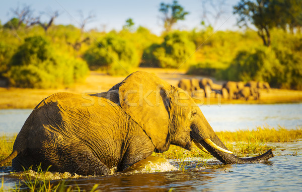 Young Elephant Stock photo © THP