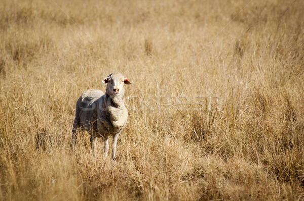 Sheep in Field Stock photo © THP