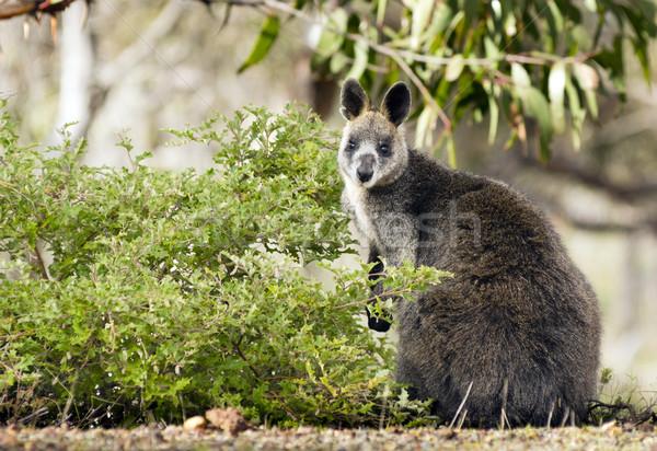 Wallaby Stock photo © THP
