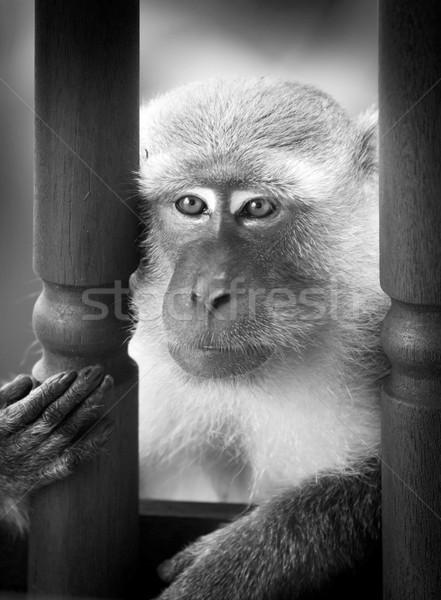 Majom vad szórakozás arc ázsiai fekete-fehér Stock fotó © THP