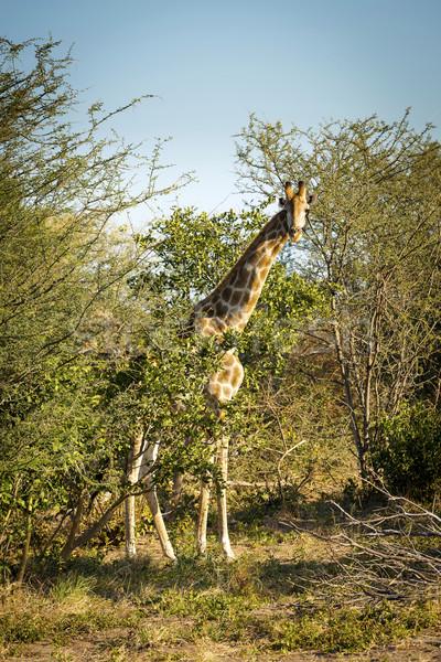 жираф долго шее Ботсвана Африка Сток-фото © THP