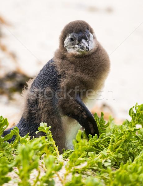 Molting Penguin Chick Stock photo © THP
