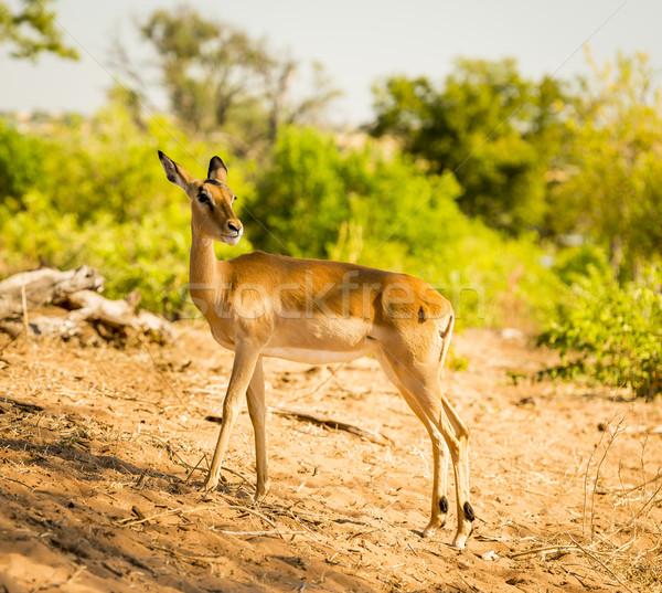 Impala Stock photo © THP