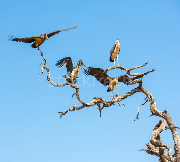 Undertaker Bird Stock photo © THP