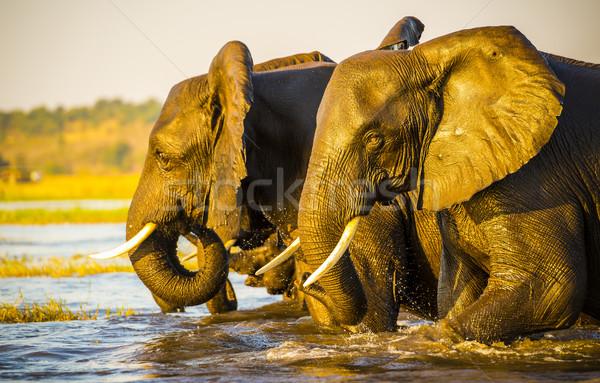 Elephant Portrait  Stock photo © THP