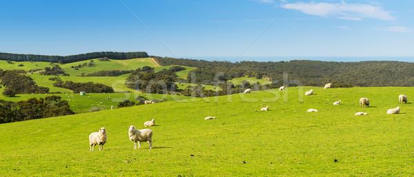 Ovejas campo primavera tiempo brillante cielo azul Foto stock © THP