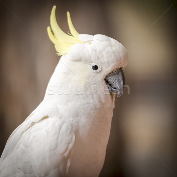 Cockatoo Parrot Stock photo © THP