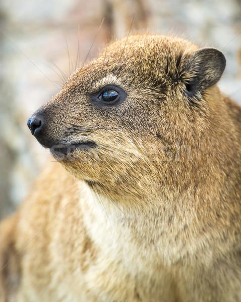 рок барсук ЮАР животного пород западной Сток-фото © THP