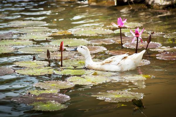 Tavacska kacsa virág víz hal természet Stock fotó © THP