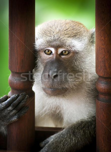 Majom vad szórakozás portré ázsiai Ázsia Stock fotó © THP