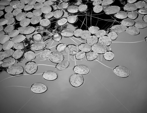 Lilly Pad Pond Stock photo © THP