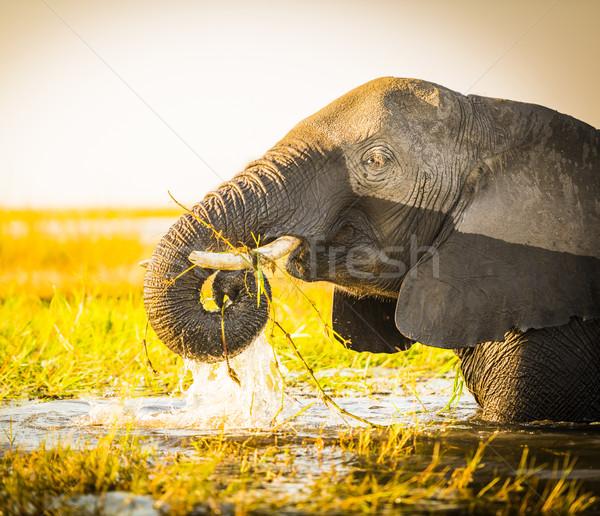 Park fil Botsvana Afrika hayvan güzel Stok fotoğraf © THP