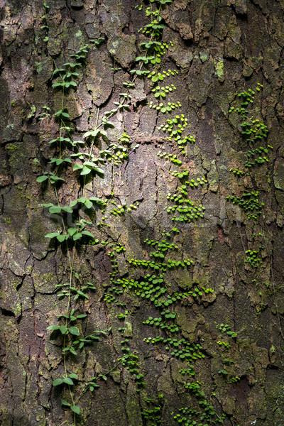 Verde viti texture crescita albero corteccia Foto d'archivio © THP