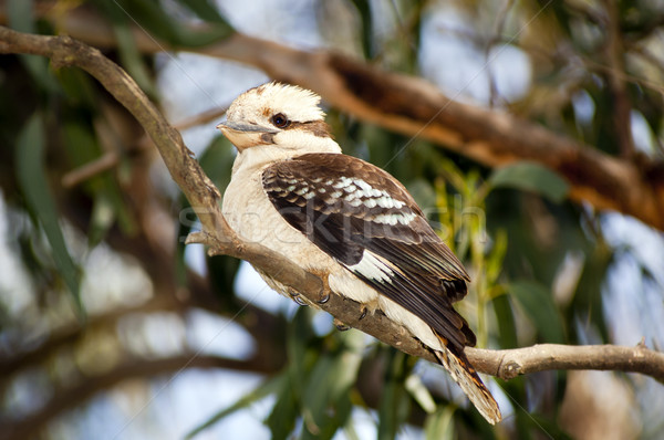 Kookaburra Stock photo © THP