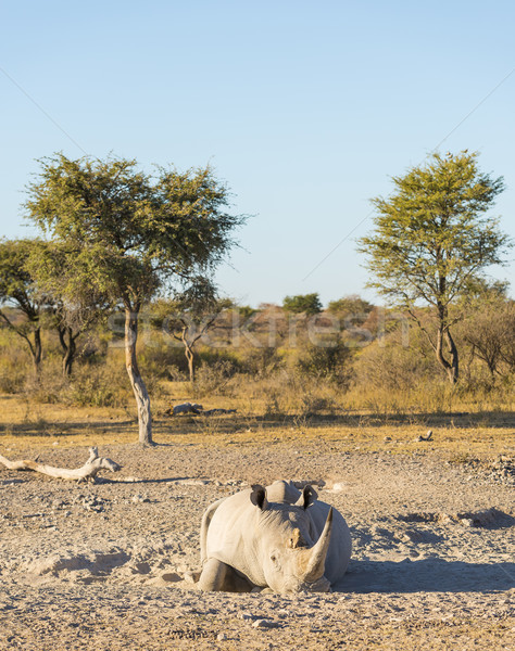 White Rhino Resting Stock photo © THP