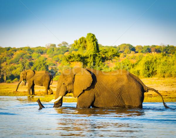 Stock photo: Elephant Wading Across Chobe River Botswana