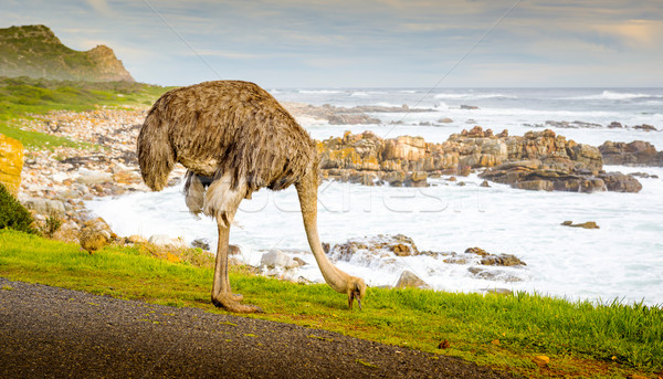 Ostrich Grazing Stock photo © THP