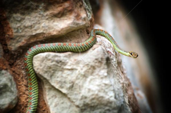 Paradise Snake Stock photo © THP